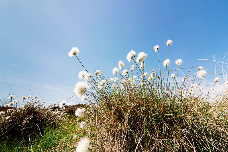 Tussock of cotton grass