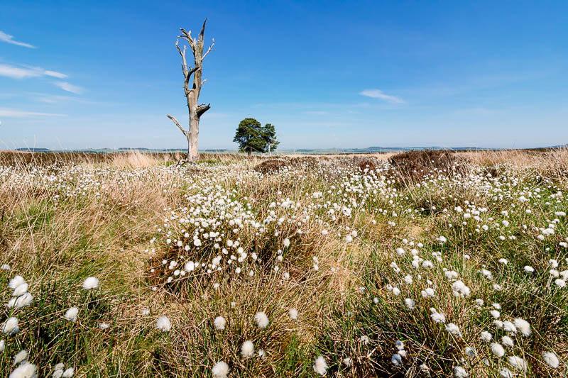 Cotton grass near Beanley