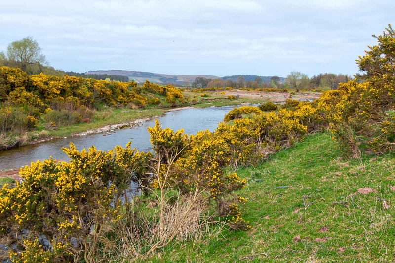 Stretch of gorse along the Breamish