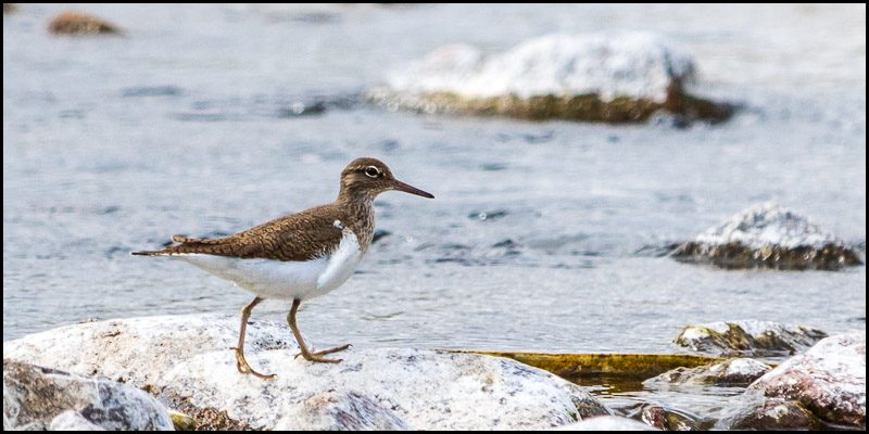 Sandpiper in the Valley