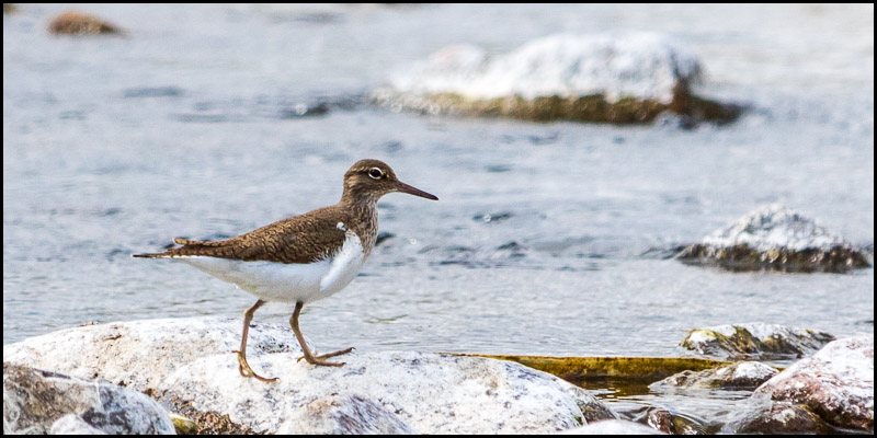 Photo of sandpiper standing on a rock next to river