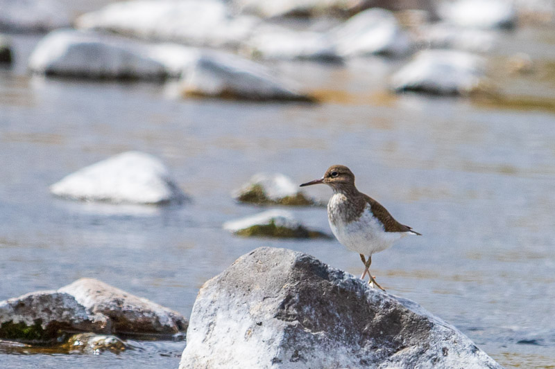 sandpiper in the valley (2)