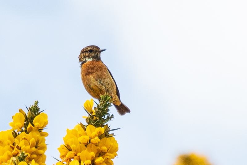 stonechat at Harthope Valley
