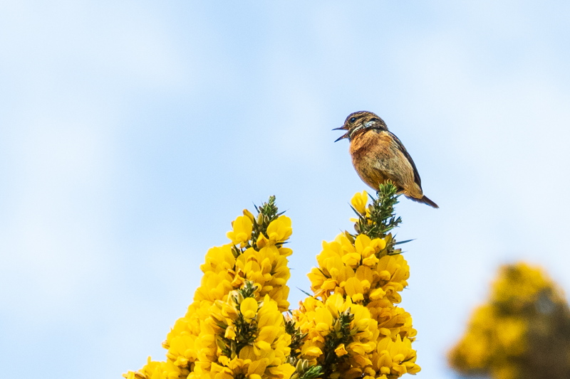 female stonechat on gorse at Harthope Valley