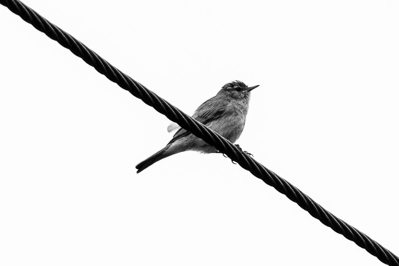 bird on a wire chiffchaff
