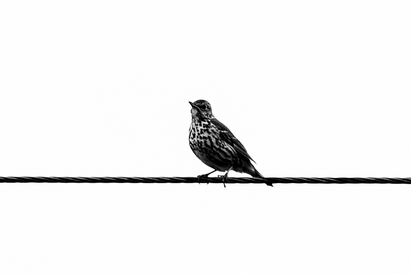 Thrush on a wire