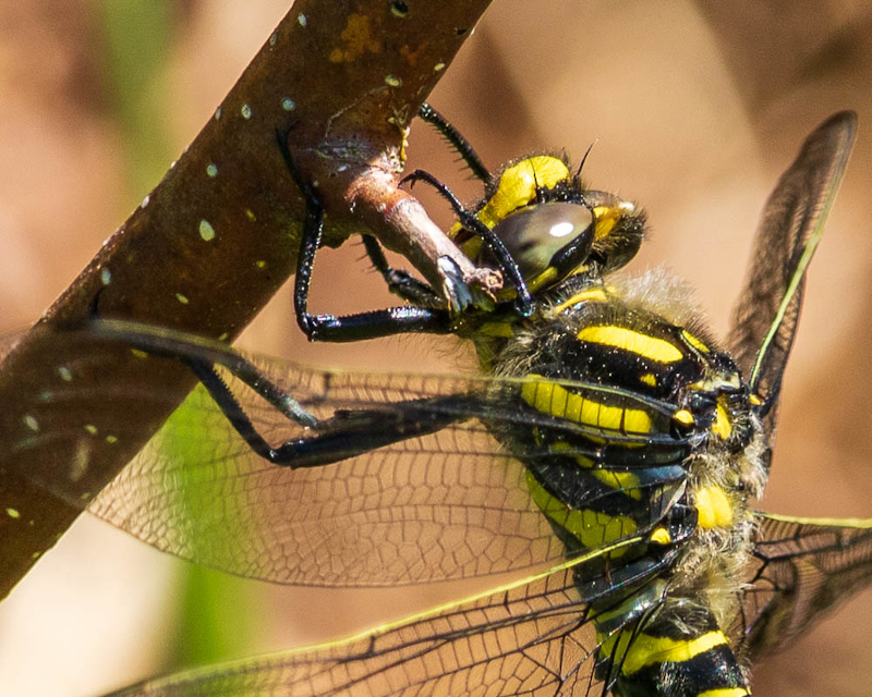 close-up golden-ringed dragonfly