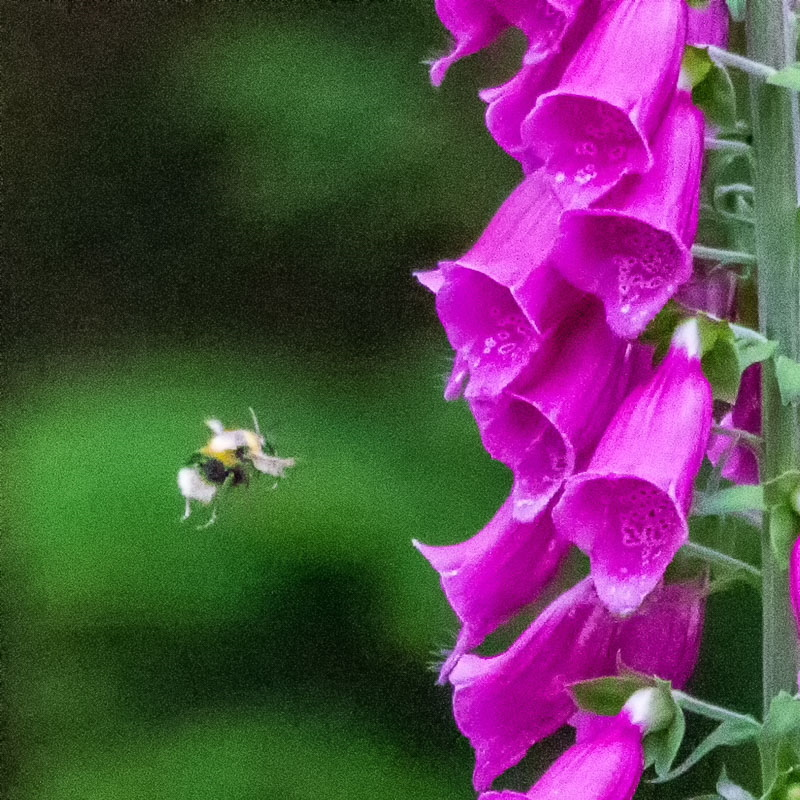 bee flying into a foxglove flower