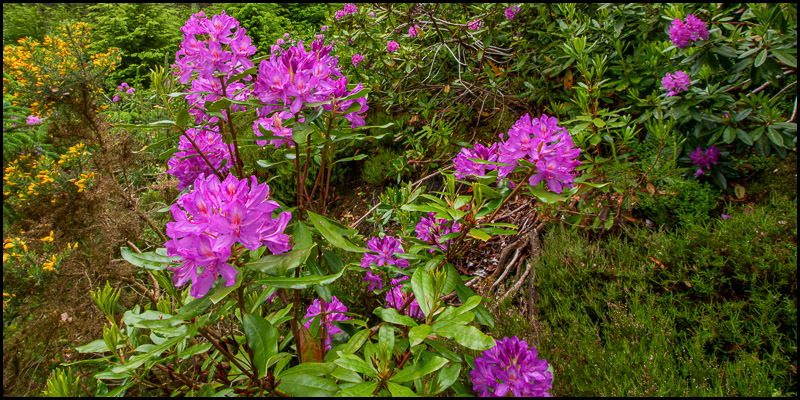 Rhododendron: Devil in Disguise?