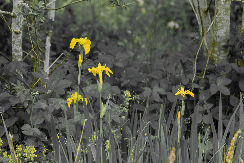 row of yellow flag iris