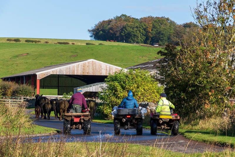 Quad bikes ushering cows to farm
