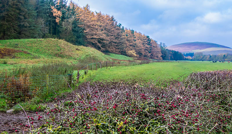 landscape view of berries and larch near Powburn