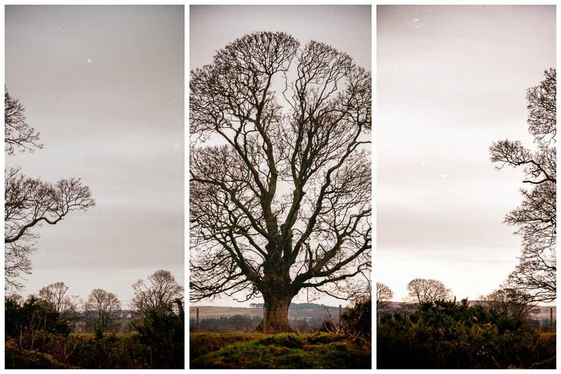 multi view image of single oak tree