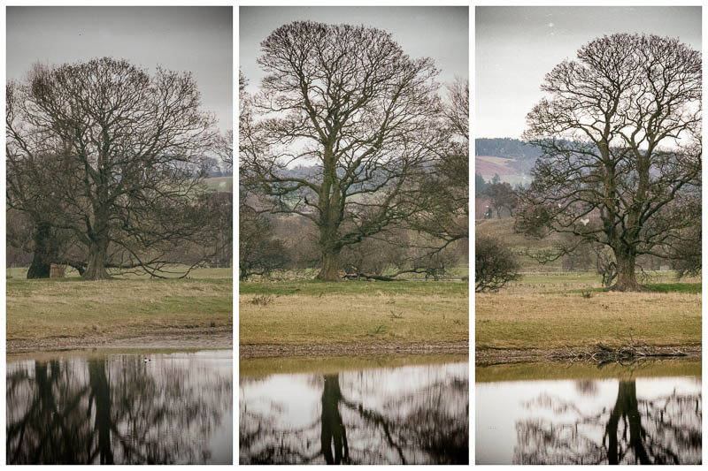 multi view image of oak trees reflected in lake