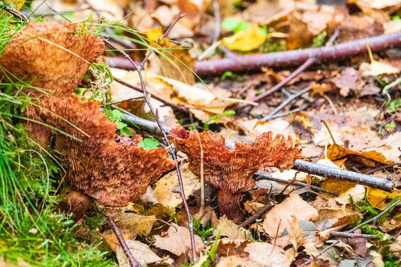 rusty red coloured mushroom