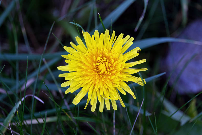 bright yellow dandelion