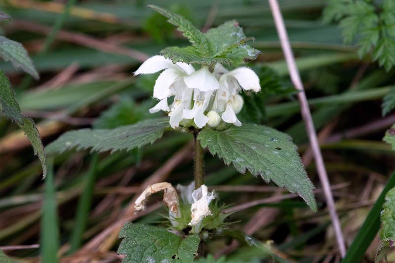 flowering white dead nettle