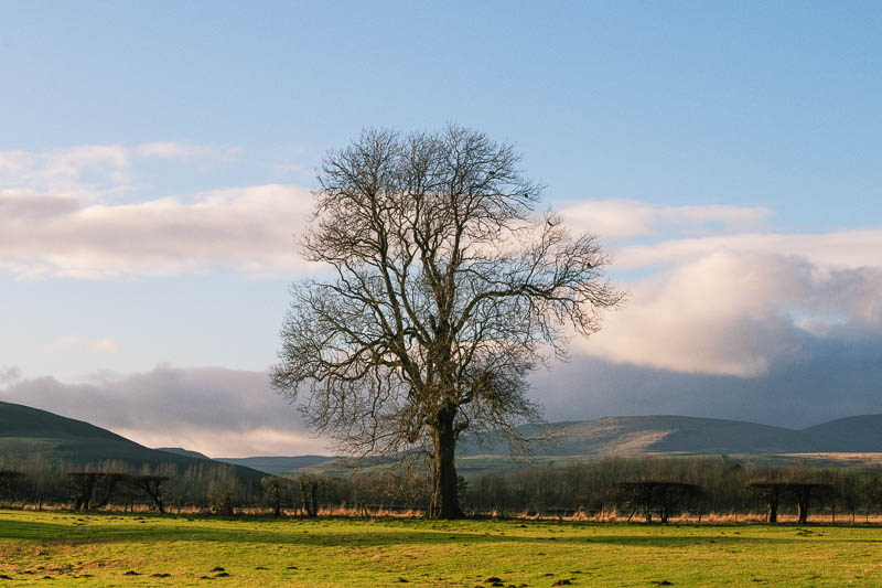 solitary oak tree in front of Cheviot Hills