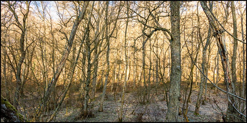 Photo of copse of woodland trees