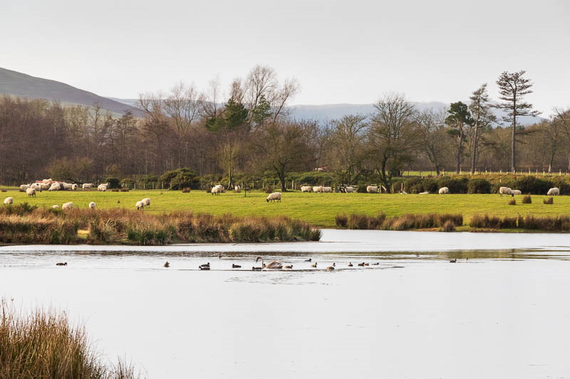 Photo of ducks and swans swimming in partially frozen lake
