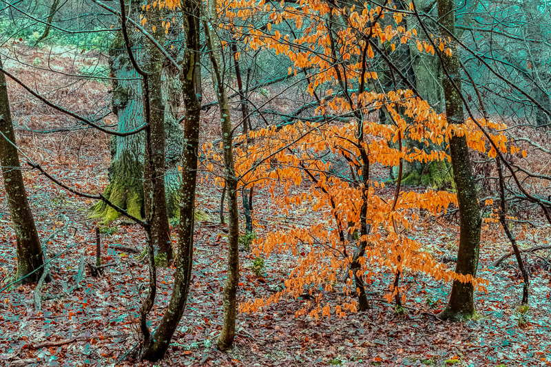 Photo of copper coloured leaves on beech tree in woodland