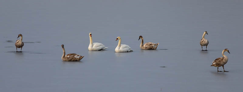 Photo of swans and geese on frozen lake