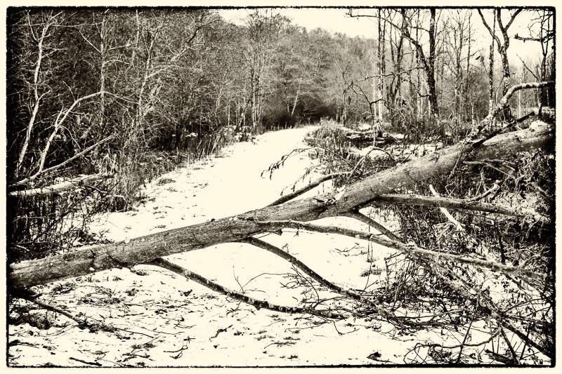 Monochrome photo of fallen tree in Crawley Dene