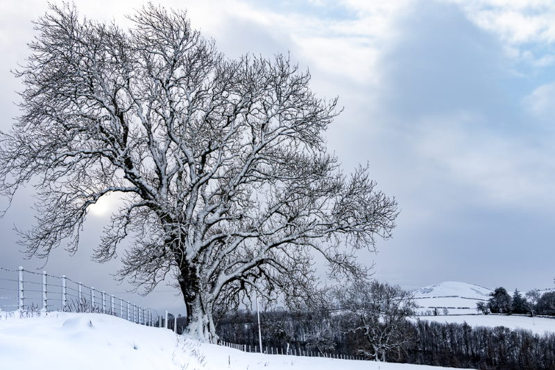 Photo of snow-covered oak tree