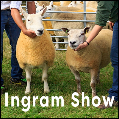 Photo of two sheep overlaid with the words 'Ingram Show'