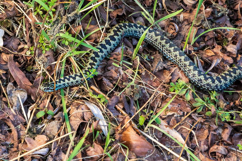 Photo of stretched out adder moving through undergrowth