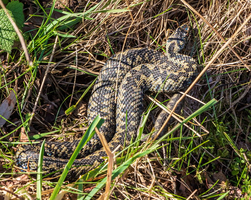 Photo of male adder  basking in afternoon sun