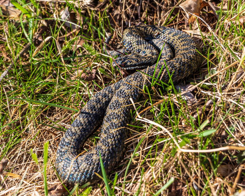 Photo of male adder sunning itself on a hedgerow bank