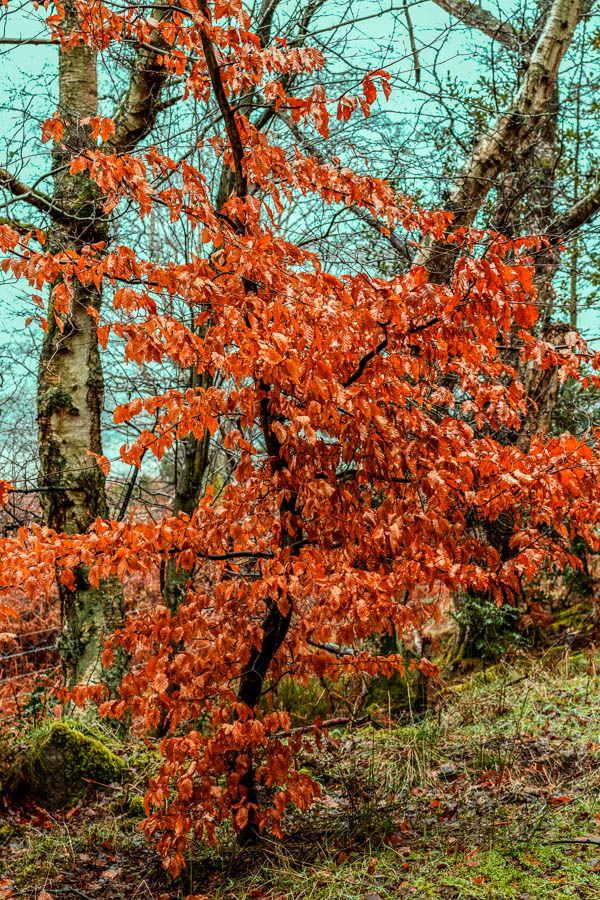 Photo of beech tree