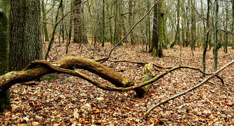Photo of a tangled branch lying on a woodland floor