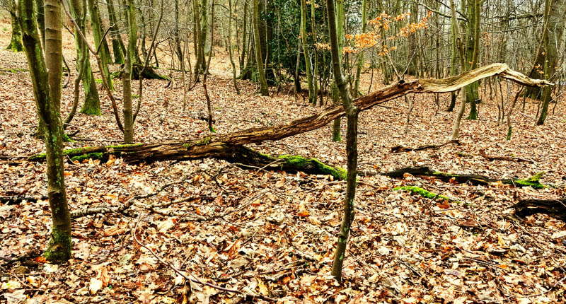 Photo of a dead tree trunk on a woodland floor covered in dead leaves