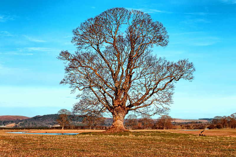 Photo of an oak tree in a field