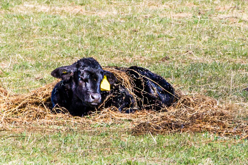 Photo of calf lying down in field