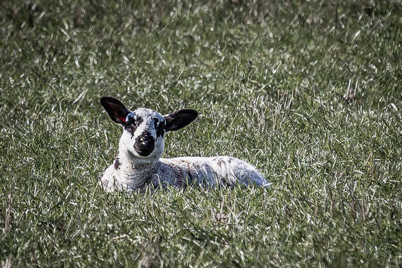 Photo of lamb sitting in field
