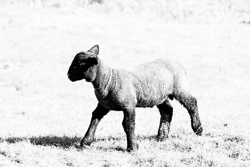 Photo of a black coloured lamb
