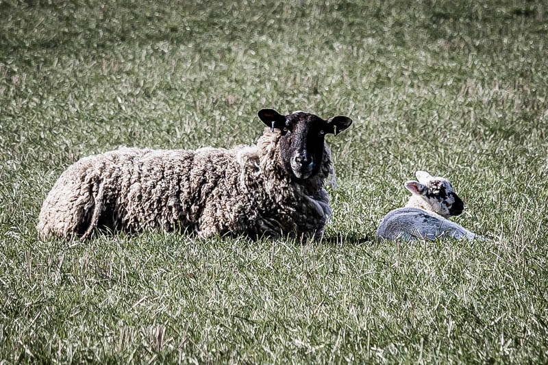 Photo of ewe and lamb sitting in field
