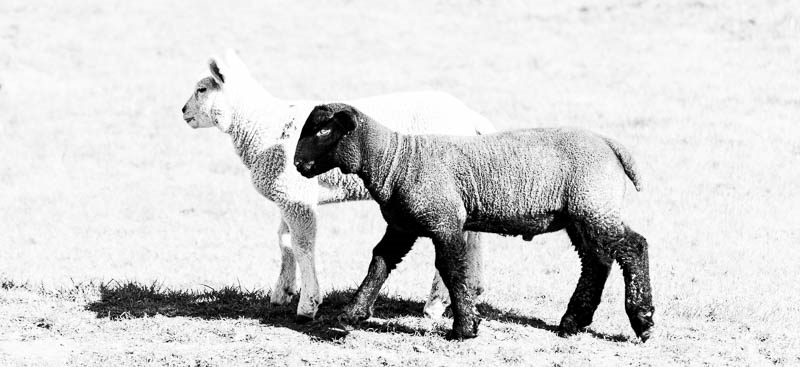 Photo of a black and a white lamb standing together