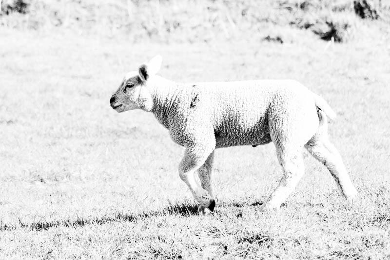 Photo of a white coloured lamb