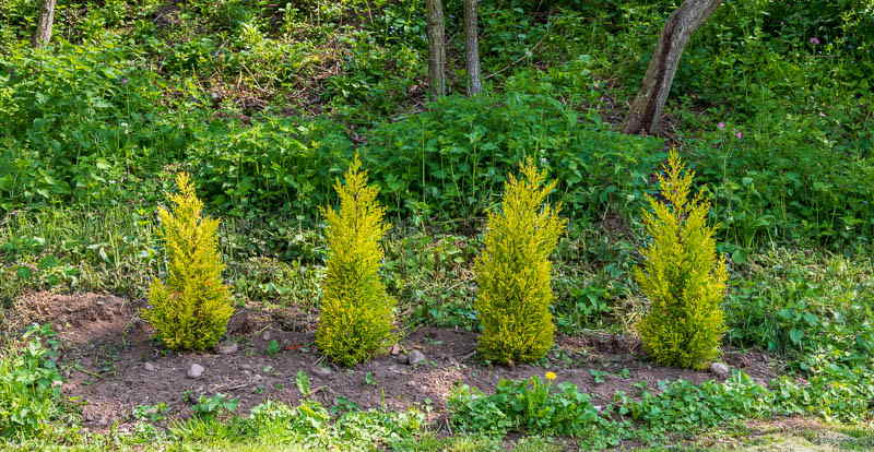 Photo of four newly-planted conifers