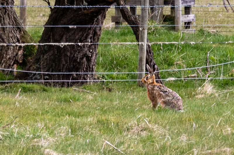 Photo of hare in field