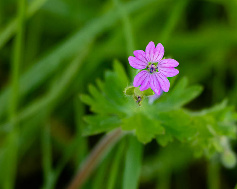 Close up photo of red campion