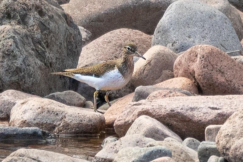 Close up photo of sandpiper on rocks