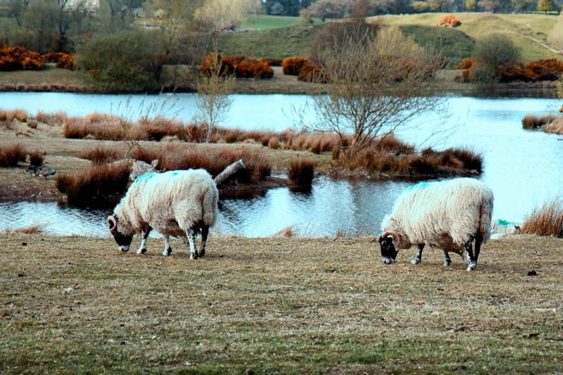 Photo of two sheep grazing