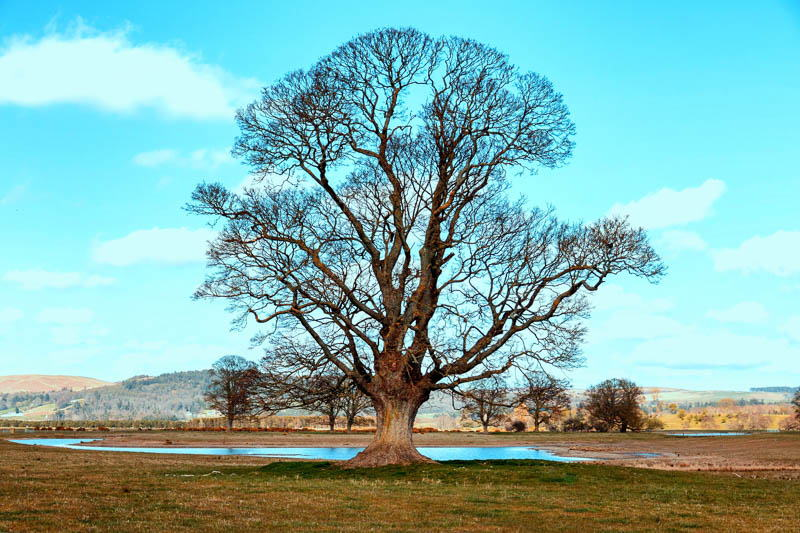Photo of solitary oak tree