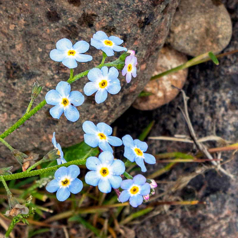 Photo of forget-me-not flowers