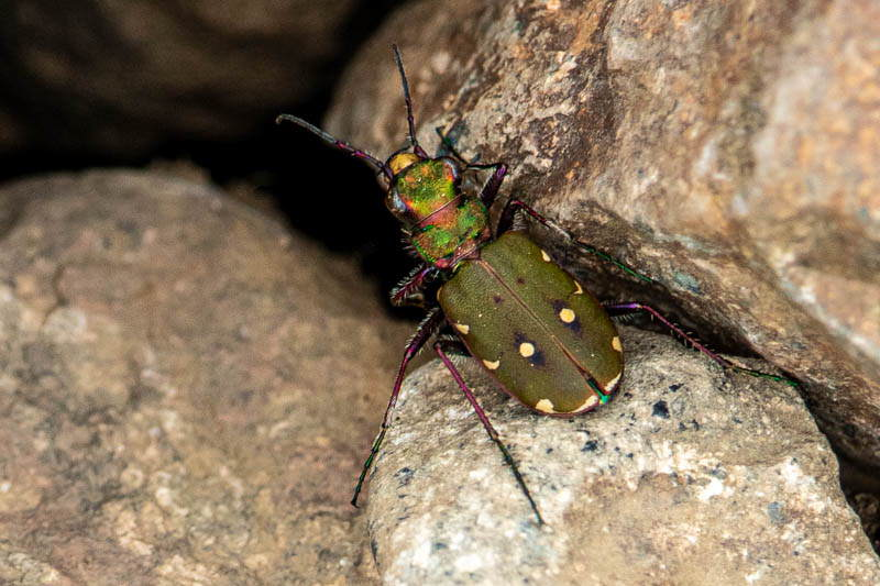 Colour photo of iridescent green tiger beetle on a rock